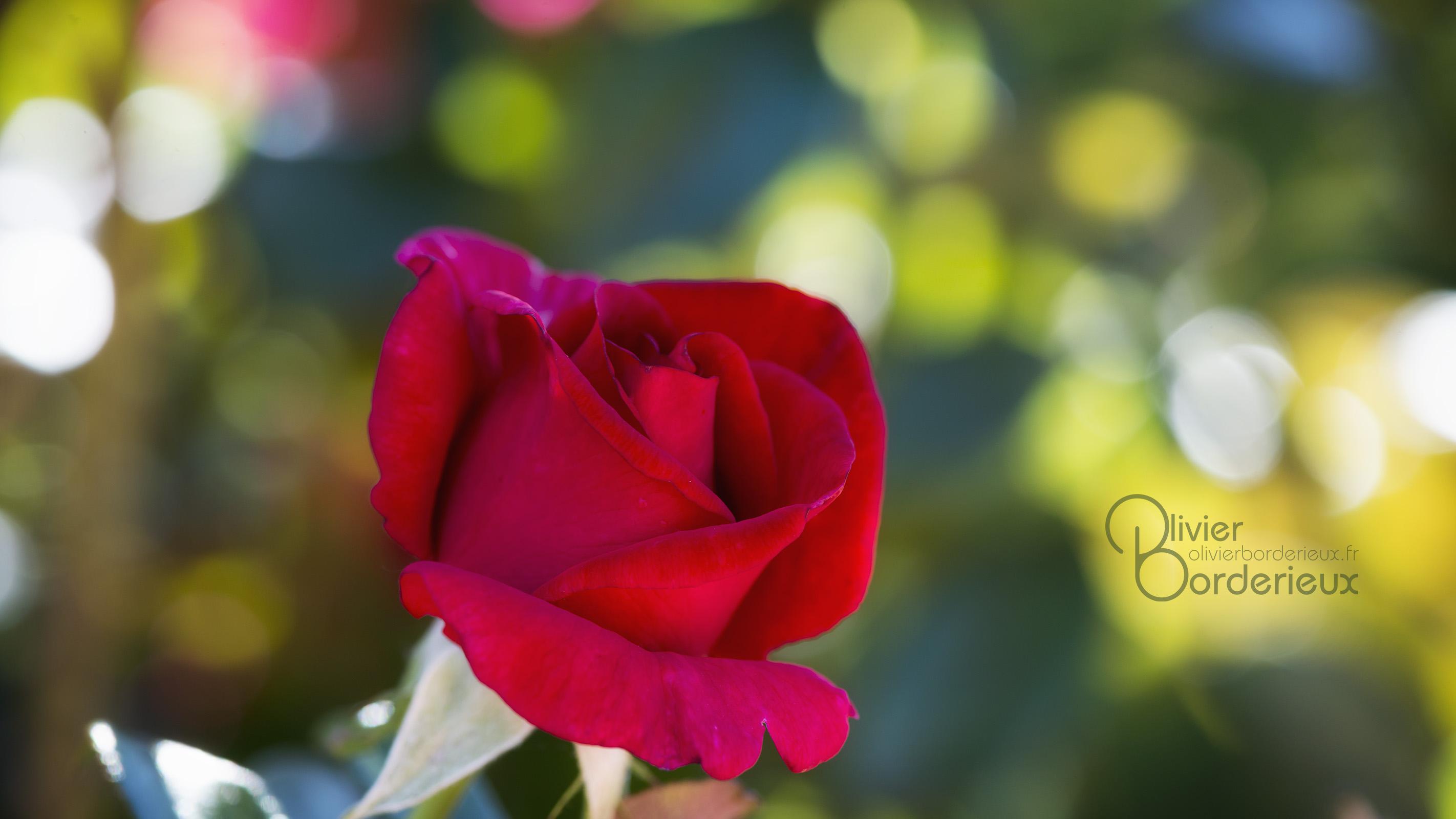 Bokeh de rose