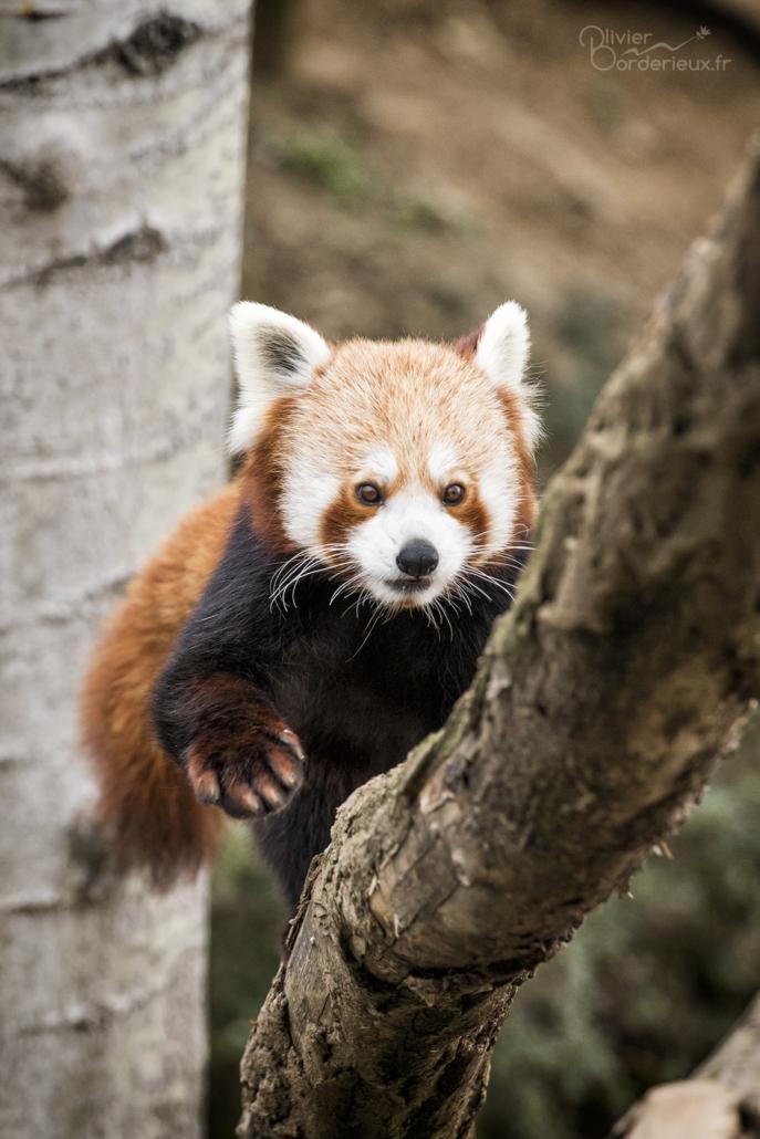 Panda roux à Saint-Martin la Plaine