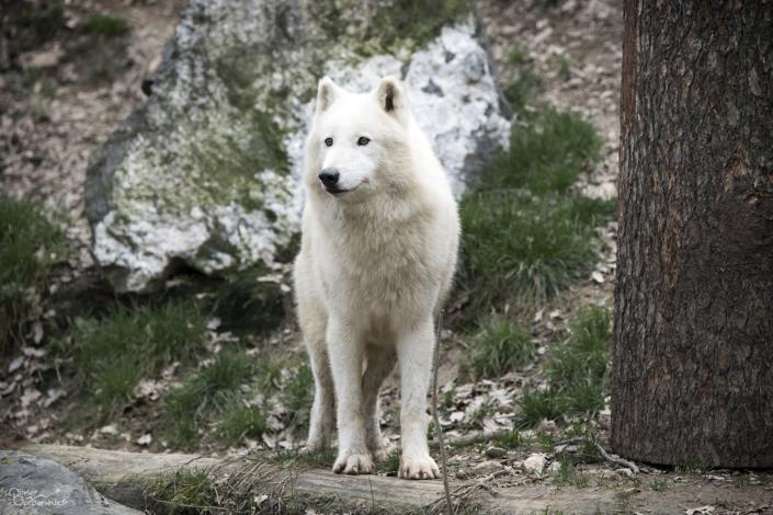 Loup arctique à Saint-Martin la Plaine