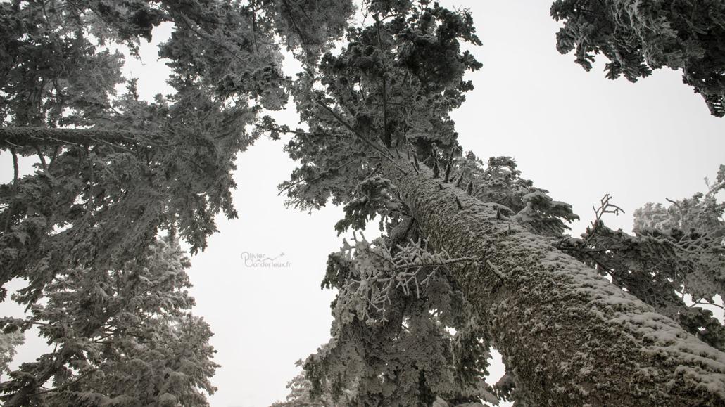 Grands arbres sous la neige