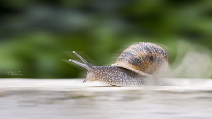 Course d'escargot